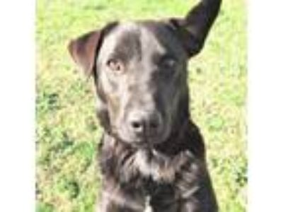 Adopt Daryl a Labrador Retriever, Australian Cattle Dog / Blue Heeler