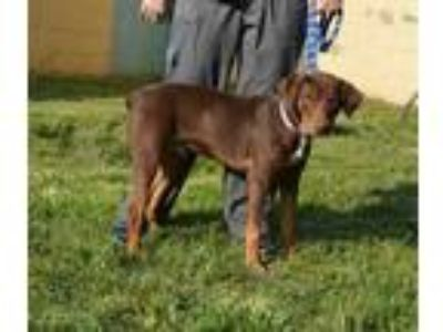 Adopt a Brown/Chocolate - with Tan Doberman Pinscher / Mixed dog in Louisville