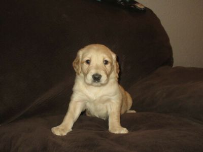 Golden Retriever PUPPY FOR SALE ADN-112415 - Golden Retriever Puppies