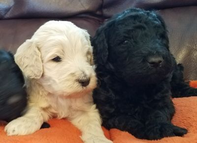 Goldendoodle PUPPY FOR SALE ADN-98692 - Beautiful Goldendoodle Puppies