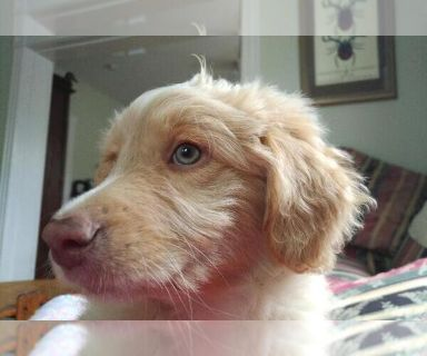 Puppy Dogs For Adoption Classifieds In Uxbridge