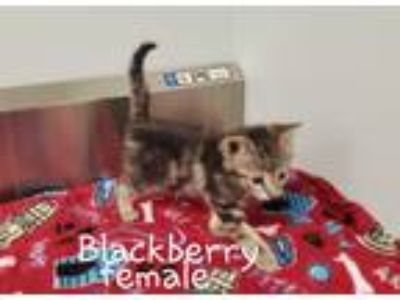 Adopt Blackberry a Domestic Shorthair / Mixed cat in Dickson, TN (25297974)