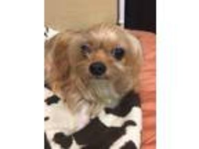 Adopt Baby a Yorkshire Terrier, Mixed Breed