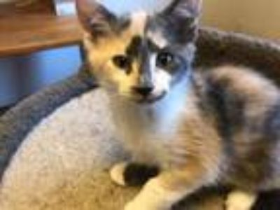 Adopt Nada a Domestic Shorthair / Mixed cat in Battle Ground, WA (25923398)