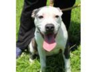 Adopt Bits a Pit Bull Terrier / Mixed dog in Abbeville, LA (25551226)