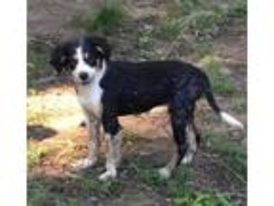 Adopt Magnolia - lovely, happy water loving girl a Border Collie