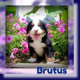 Brutus Male AKC Bernese Mountain Dog