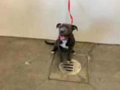 Adopt ARYA a Gray/Blue/Silver/Salt & Pepper American Pit Bull Terrier / Mixed