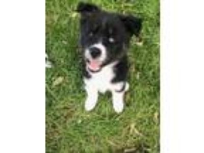 Adopt Larry a Black - with White Border Collie / Husky / Mixed dog in Fort