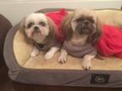 Adopt Brownie and Whitey a Brown/Chocolate - with White Shih Tzu dog in Tampa