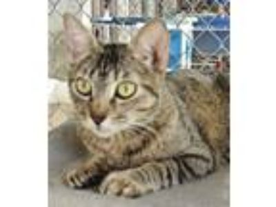 Adopt Lucky a Domestic Short Hair