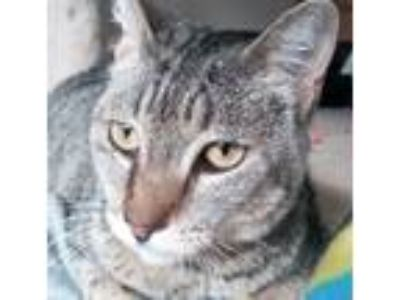 Adopt Mouse a Brown Tabby Domestic Shorthair (short coat) cat in Temecula