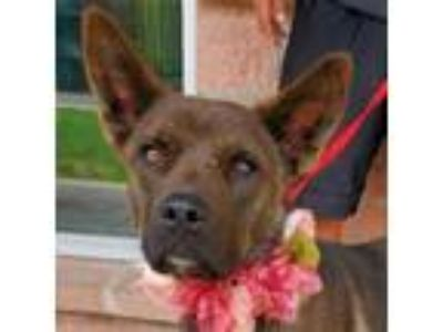 Adopt Amanda a Shepherd, Mixed Breed