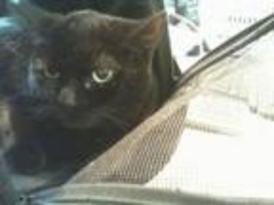 Adopt Zoey a All Black Domestic Shorthair / Mixed cat in Oakland, CA (25933115)