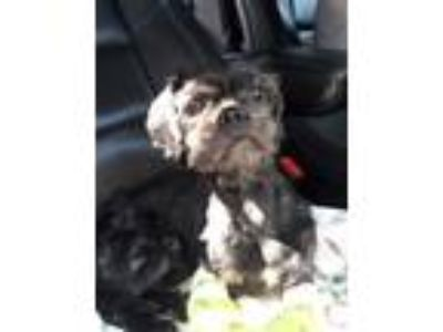 Adopt Mustang a Black Affenpinscher / Mixed dog in Whitestone, NY (25815212)