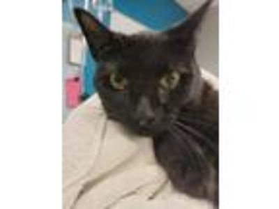 Adopt Agent Cayenne a Domestic Shorthair / Mixed (short coat) cat in Vineland