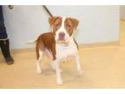 Adopt Hazel a White - with Brown or Chocolate Labrador Retriever / Mixed dog in
