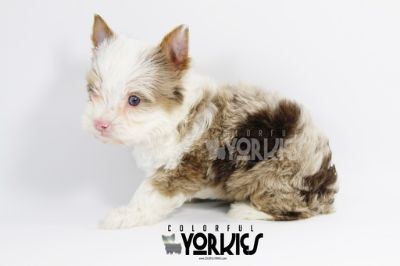 Yorkshire Terrier PUPPY FOR SALE ADN-71534 - Exotic Chocolate Tweed Merle Jewels