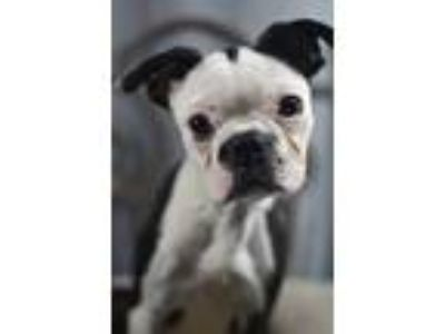 Adopt Piglet a Boston Terrier / Mixed dog in Fort Worth, TX (25649283)