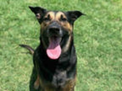 Adopt ACHILLES a Black - with Tan, Yellow or Fawn German Shepherd Dog / Mixed