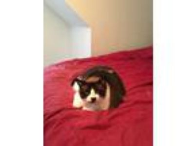 Adopt Rocky a Black & White or Tuxedo Domestic Mediumhair / Mixed cat in