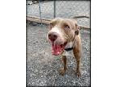 Adopt Holly a Tan/Yellow/Fawn - with White Pit Bull Terrier dog in Delta