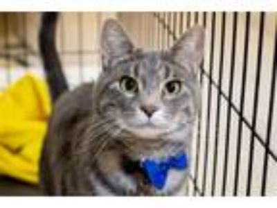 Adopt Mighty Moe 9241 a Domestic Short Hair