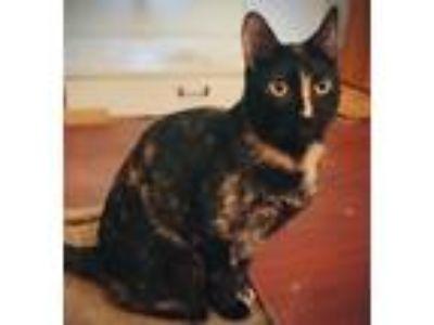 Adopt Shelby a Tortoiseshell Domestic Shorthair (short coat) cat in Anaheim