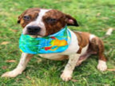 Adopt PARKER a Brindle - with White Australian Cattle Dog / Mixed dog in Texas