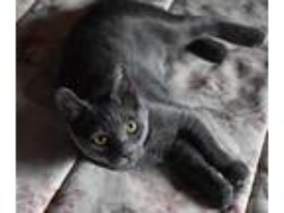 Adopt Charlotte a Gray or Blue Russian Blue (short coat) cat in Los Angeles