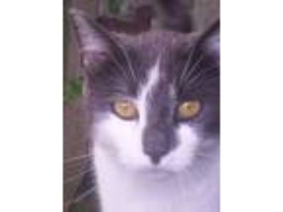 Adopt Smokey--Sweet Talker a Domestic Short Hair