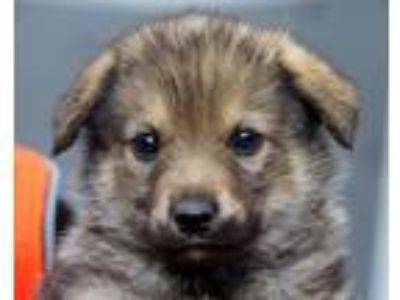Adopt Dory a Brown/Chocolate - with Tan Shepherd (Unknown Type) / Mixed dog in