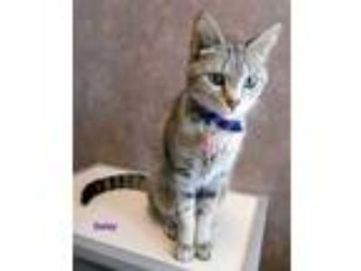 Adopt Daisy a Gray or Blue Domestic Shorthair / Domestic Shorthair / Mixed cat