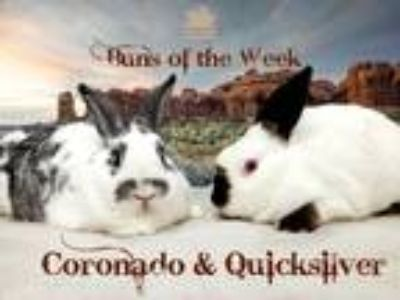 Adopt Coronado, Quicksilver a Californian / Mixed (short coat) rabbit in
