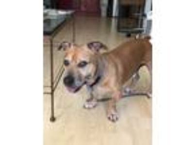 Adopt Chunk a Brown/Chocolate - with Tan American Staffordshire Terrier / Basset