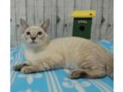 Adopt Sinatra a Domestic Short Hair, Siamese