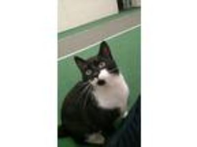 Adopt Murka a Black & White or Tuxedo American Shorthair (short coat) cat in