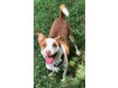Adopt Bert a Tan/Yellow/Fawn - with White Jack Russell Terrier / Mixed dog in