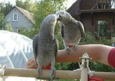 Female African Grey Parrot for Valentine