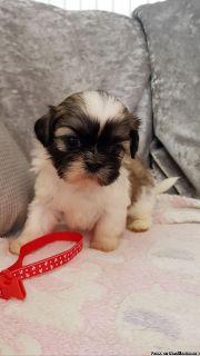 Quality Beautiful Male & Female Shih Tzu Puppies.