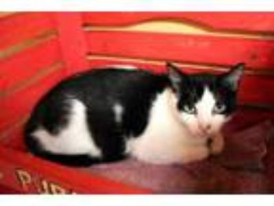 Adopt Panda a All Black Domestic Mediumhair / Domestic Shorthair / Mixed cat in