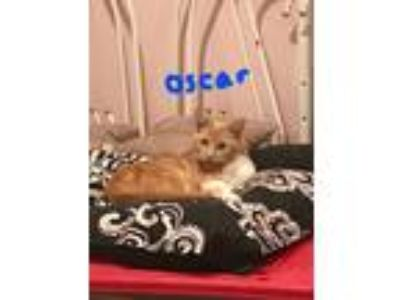 Adopt Oscar a Orange or Red American Shorthair (short coat) cat in Hicksville