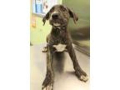 Adopt Badger a Black American Pit Bull Terrier / Hound (Unknown Type) / Mixed