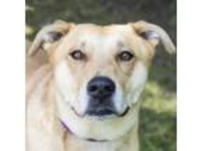 Adopt Taj a Tan/Yellow/Fawn Labrador Retriever dog in Middletown, RI (25559679)