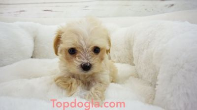 Maltipoo Puppy - Male - ZuZu ($1,350)