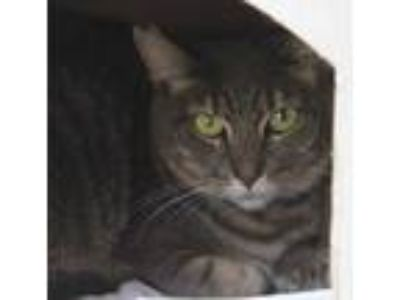 Adopt Hela a Gray or Blue Domestic Shorthair / Domestic Shorthair / Mixed cat in