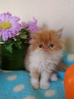 Adorable CFA-Registered Persian Kittens For Sale