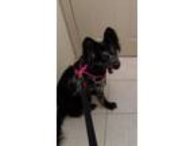 Adopt Marbles a Black - with Gray or Silver Shepherd (Unknown Type) / Mixed dog