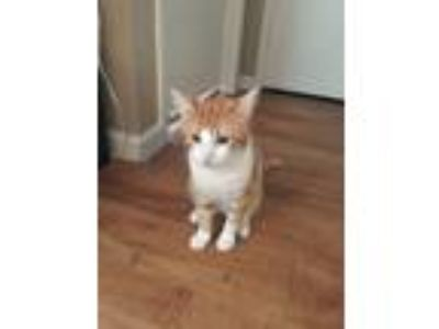 Adopt Muffin a Orange or Red Tabby American Shorthair / Mixed cat in Plano