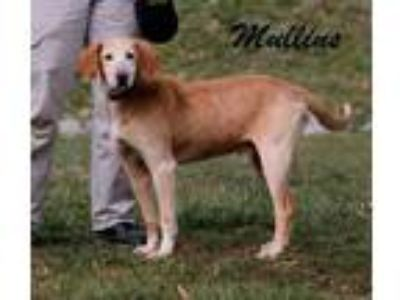 Adopt Mullins a Hound, Mixed Breed